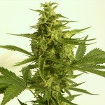 AUTO Critical HOG Feminized