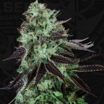 Darkstar TM Kush Feminized