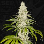 Mont Blanc by T.H.Seeds™ Feminized - 2-Pack