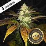 Sticker Orangesicle Feminized - Special Pack - 3 FREE Seed