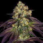 Do-Si-Do x SBC a.k.a. Stracciatella™ Feminized - Special Pack - 3 FREE Seed