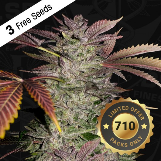 Gelato Cake by T.H.Seeds™ Feminized - Special Pack - 3 FREE Seed