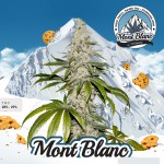Mont Blanc by T.H.Seeds™ Feminized