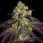 Do-Si-Do x SBC a.k.a. Stracciatella™ Feminized - Special Pack - 3 FREE Seed