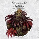 Do-Si-Do x SBC a.k.a. Stracciatella Feminized