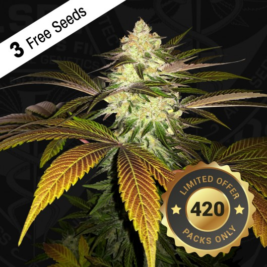 Orangesicle Feminized - Special Pack - 3 FREE Seed