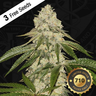 Pisthash by T.H.Seeds™ Feminized
