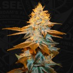 Strawberry Glue Feminized