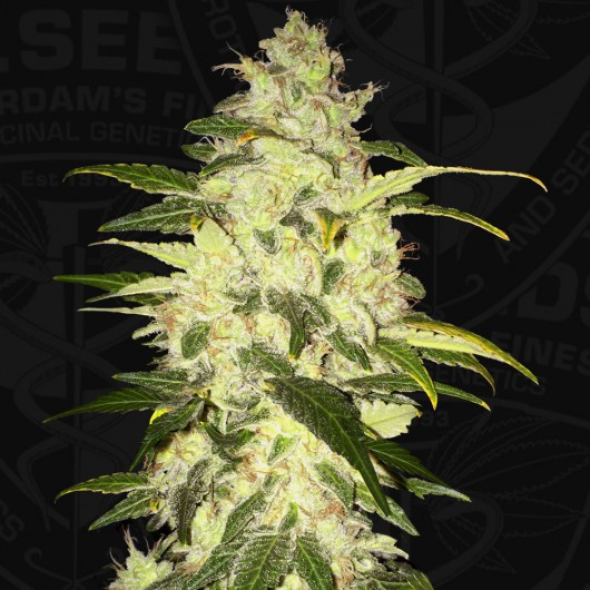 Chocolate Chunk Feminized
