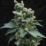 Sage TM 'n Sour Feminized