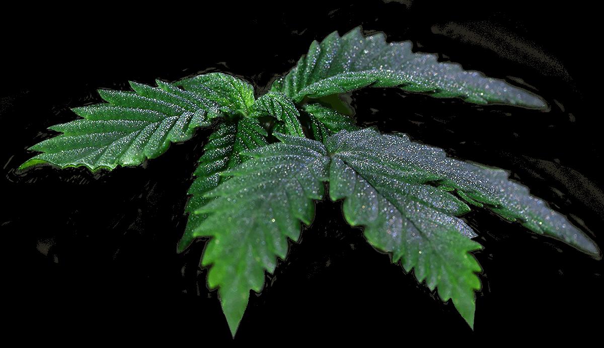 T.H.Seeds Hojas de Cannabis