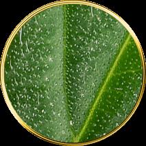 T.H.Seeds Développement des trichomes