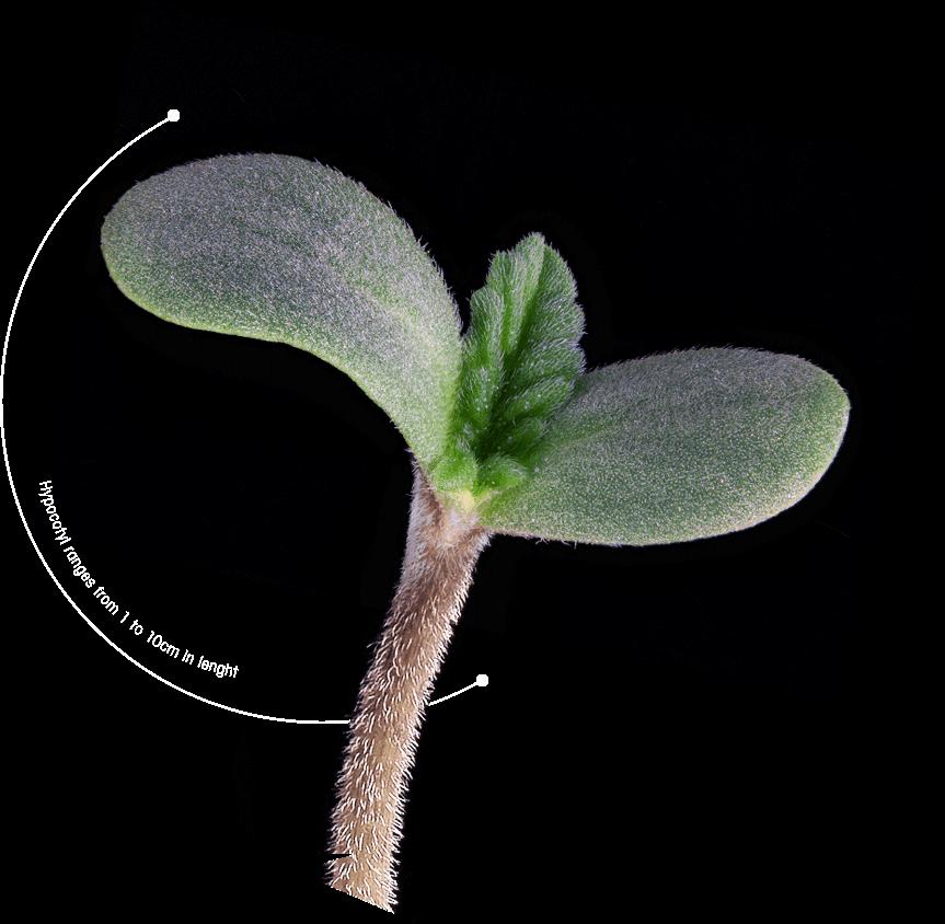 T.H.Seeds Sämling