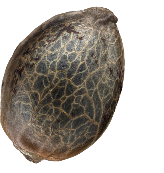 T.H.Seeds Open Seed Shell